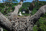 Parauapebas_PA, Brazil.<br /> <br /> Harpy eagles build their nests in 35 to 50-meter tall growing trees. The largest trees offer them forks large enough to support structures as big as 3m diameter. Carajas national Forest, Para, Brazil.<br /> <br /> Photo: JOAO MARCOS ROSA / NITRO