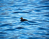 Female Tufted Duck (?) Tromsø harbor.  Image taken with a Nikon N1V2 camera and 30-110 mm VR lens (ISO 200, 110 mm, f/5.5, 1/250 sec).