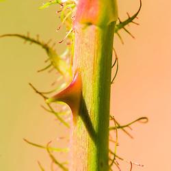 Espinhos de uma roseira, registrado bem de perto, no entorno da Rebio de Duas Bocas, em Cariacica.
