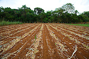 Sao Jose do Rio Preto_SP, Brasil...Programa Biota da Unesp, na foto agricultura...The Biota program of Unesp, in this photo the agriculture.. .Foto: JOAO MARCOS ROSA / NITRO