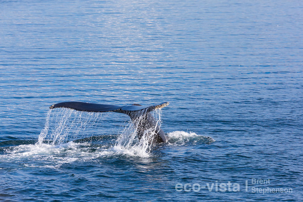 A humpback whale (Megaptera novaeangliae) dives, slowly raising its tail as water cascades from it. Isafjardardjup, West Fjords, Iceland. July.