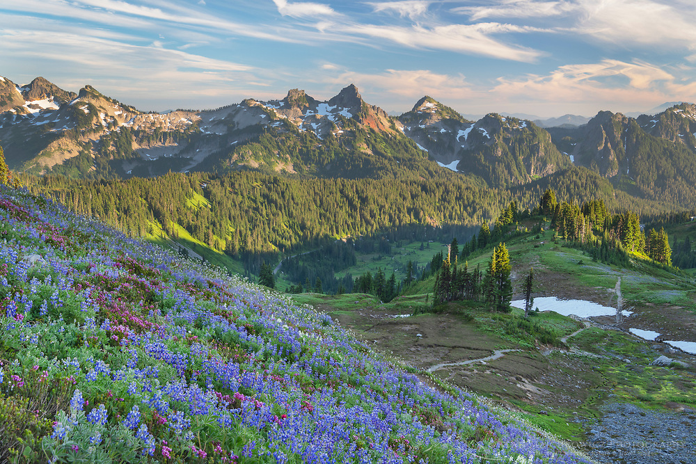 Tatoosh Range with a mixture of Broadleaf Lupines, and Western Anenomes in the foreground. Mount  Rainier National Park, Washington