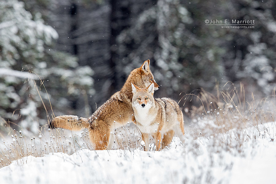 A pair of coyotes in Banff National Park