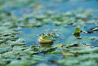 """Pool Frog (Pelophylax lessonae) in a shallow lake in the aquatic komplex Somova-Parches, close to Somova village, upper Danube Delta, Romania. It is very similar in appearance to the closely related edible frog and pool frog. These three species, in the genus Pelophylax, are often referred to as """"green frogs""""."""