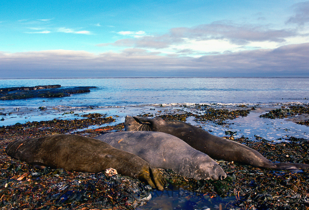 Elephant Seals, Sea Lion Island, Falkland Islands