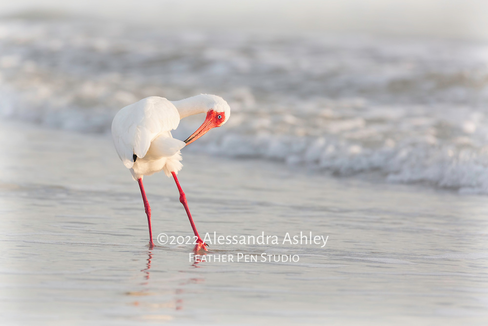 Ibis pauses its evening surfside fishing for a quick feather preening.