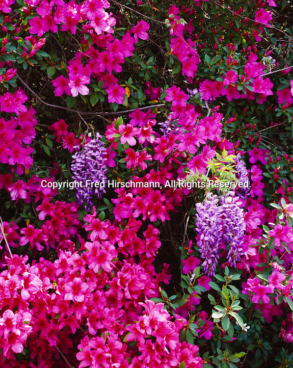 Ornamental Azalea, Rhododendron sp., and Wisteria, Wisteria sp., blooming east of the Escambia River, Florida.