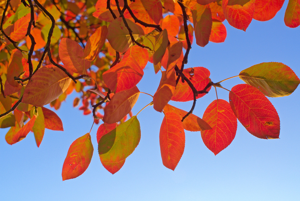 Rote Blätter im Herbst vor blauem Himmel, Deutschland, Köln  red autumn leaves in fron of blue sky