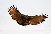 An hamerkop, Scapus umbretta, in flight with a termite in its beack.