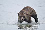 "Images from 2011 ""Coastal Brown Bears of Alaska""  Tour"