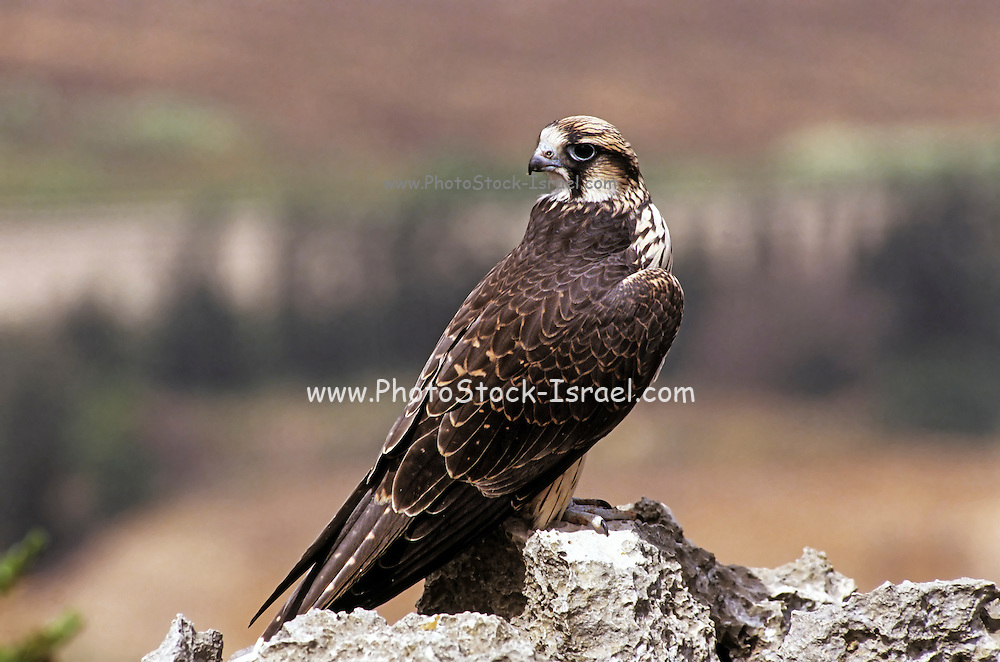Lanner falcon (Falco biarmicus) This bird of prey breeds throughout Africa, southeast Europe and parts of Asia Minor. This predator catches birds both in flight and from the ground. It also hunts bats, lizards and rats. It lives in desert, savannah and open woodland throughout much of the Middle East and Africa. Photographed in Israel
