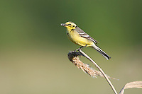 Yellow wagtail (Motacilla flava) adult perched with food for chicks. Lithuania, May 2009. Mission: Lithuania