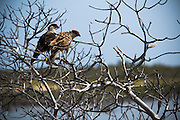 Birds of prey rest on a dry tree branch on Cayo Santa Maria, Cuba Friday July 18, 2008.
