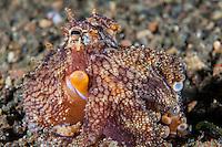 Coconut Octopus<br /> <br /> <br /> <br /> Shot in Indonesia