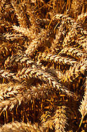 Wheat field ready to harvest