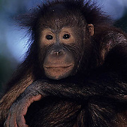 Orangutan, (Pongo pygmaeus) Portrait of orang-utan. Borneo. Malaysia. Controlled Conditons.