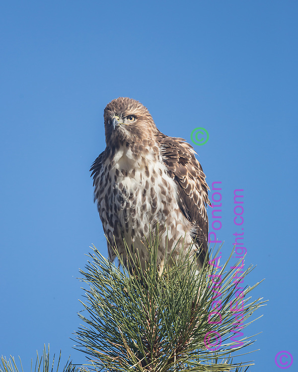 Juvenile red-tailed hawk perched in the top of a ponderosa pine tree, Valles Caldera National Preserve, © David A. Ponton