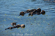 California sea otters, or southern sea otters, Enhydra lutris nereis ( threatened species ), resting and socializing in a raft at the edge of a bed of eel grass, Zostera sp., Morro Bay, California, United States ( Eastern Pacific )