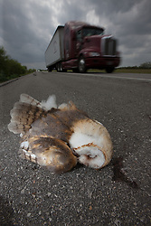 Dead Barn Owl, hit by car on side of road, South Texas, USA