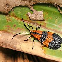 Coleoptera - Beetles