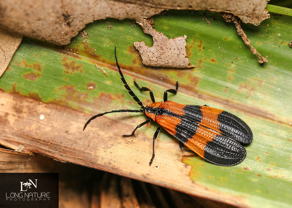 banded net-winged beetle, Calopteron discrepans