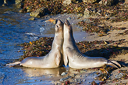 Picture of young northern elephant seals, Mirounga angustirostris, mock fighting, Piedras Blancas, California, USA, East Pacific Ocean