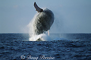 humpback whale, Megaptera novaeangliae, breaching, Hawaii Island, #5 in sequence of 9; caption must include notice that photo was taken under NMFS research permit #587