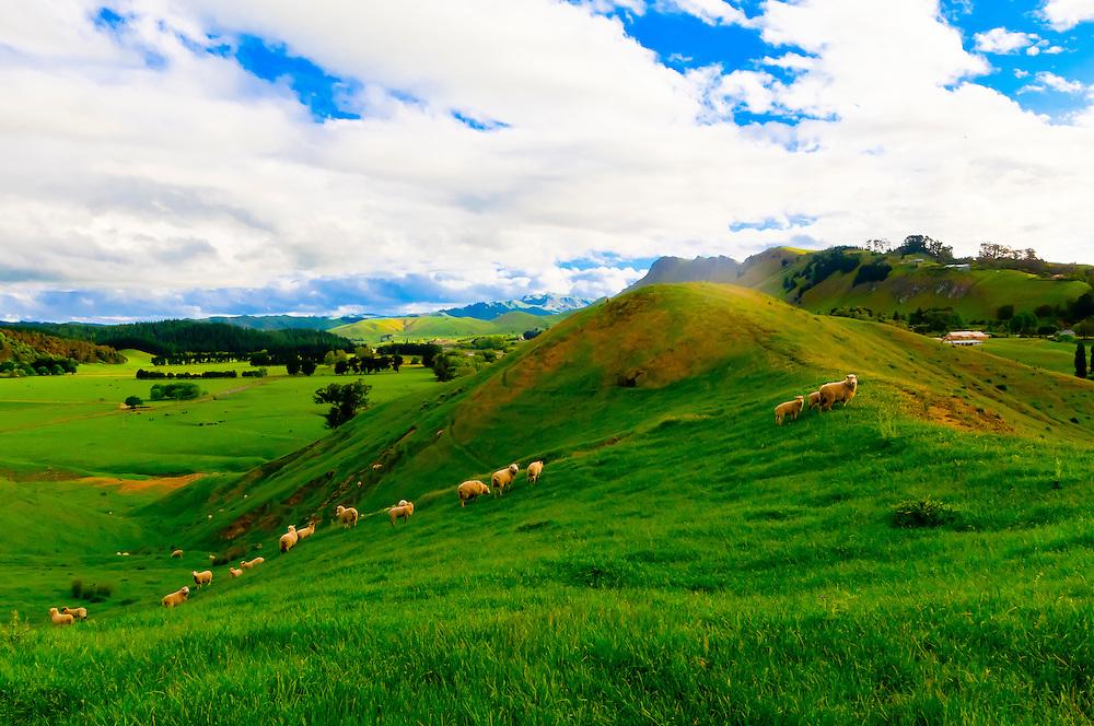 Sheep grazing in the Tuki Tuki Hills, near Napier, Hawkes Bay, north island, New Zealand