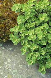 Ballota 'All Hallows Green'