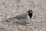 Photograph of  Black-throated Sparrow from the Amerind Museum area, AZ