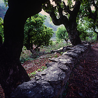 Old trees line a trail in the Marsyandi Valley east of Annapurna in Nepal.