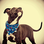 Pit bull at the Sacramento city animal shelter waits to be adopted.