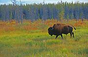 Wood bison (Bison bison athabascae) <br />Mackenzie Bison Sanctuary<br />Northwest Territories<br />Canada