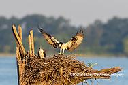 00783-01901 Osprey (Pandion haliaetus) landing at nest Rend Lake Jefferson Co. IL