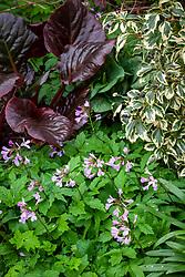 Hedera helix 'Cavendishii Latina', Cardamine quinquefolia and Bergenia 'Claire Maxine'