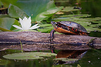 A scenic image of a painted turtle sunning itself on a log beside a flowering water lily in a bog...©2008, Sean Phillips.http://www.Sean-Phillips.com