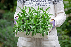 Holding tray of  spring bedding - wallflowers - ready to plant out in autumn