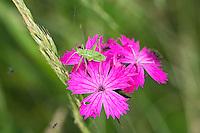 Heuschrecken-Larve auf Karthäuser-Nelke, Dianthus carthusianorum, Ost-Slowakei / Cricket-larva on Carthusian Pink, Dianthus carthusianorum, East Slovakia