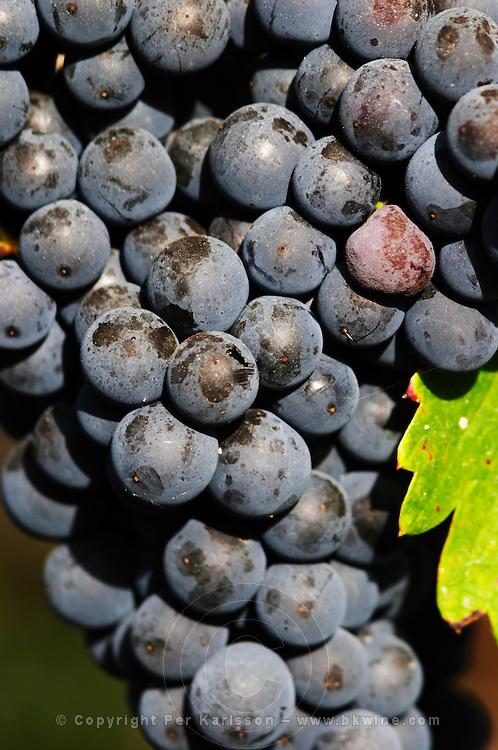 Bunches of ripe grapes. Cabernet franc. Domaine Charles Joguet, Clos de la Dioterie, Chinon, Loire, France