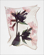 FLOWERPRESS - red campion polaroid lift photo art print by Paul Williams. These rare and striking polaroid lift was taken by photographer Paul E Williams in 1992 and was awarded a Polaroid European Final Art Award. .<br /> <br /> Visit our FINE ART PHOTO  PRINT COLLECTIONS for more wall art photos to browse https://funkystock.photoshelter.com/gallery-collection/Fine-Art-Photo-Prints-by-Photographer-Paul-Williams/C0000UM829OLMVv8