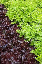 Lettuce 'Green Oak Leaf' with Lettuce 'Aruba'