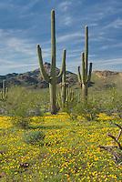 Saguaro Cactus (Carnegiea gigantea) standing amidst fields of yellow Mexican Poppies, Organ Pipe Cactus National Monument Arizona