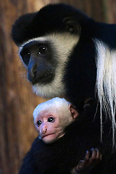 © Licensed to London News Pictures. 25/12/2013. London, UK A tiny colobus monkey is born at ZSL London Zoo. Peeking out from behind mum Niamey's long black coat, at Seven-inches tall, Atlas the tiny Eastern black and white colobus monkey, spends most of his time peacefully snuggling with his mother.. Photo credit : Jo Iredale/LNP