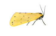 Dew Moth - Setina irrorella