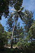 South Pacific, The Republic of Vanuatu, Shefa Provence, Epule River Valley Coconut tree