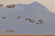 Canada Geese take flight in the Flathead Valley, Montana, USA