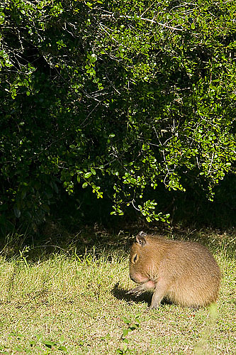 South America, Uruguay, Rocha, Parque Nacional Santa Teresa, Estacion Biologica Potrerillo de Santa Teresa, capybara, Hydrocoerus hydrochaeris, carpincho, young, juveniles, grazing, adult, female