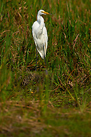 Great Egret (Ardea alba), Arthur R Marshall National Wildlife Reserve - Loxahatchee, Florida, USA