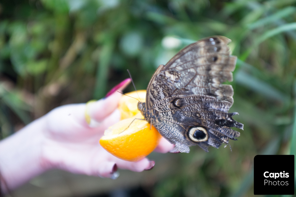 Over the span of 10 days, thousands of people packed into a greenhouse on the Carleton University campus for the annual Biology Butterfly show. The show which feature over 1,300 butterflies from 41 species had many people waiting in line for hours to get the chance to admire and feed the insects. October 12, 2015. Captis Photos/Brendan Montgomery