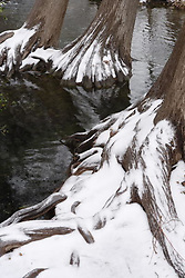Stock photo of snow covered cypress tree roots in the Texas Hill Country